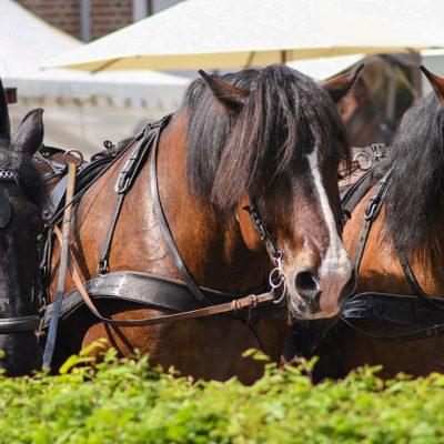 kutsche-pferde-galerie